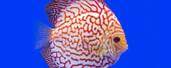 七彩神仙鱼为什么要白背景,为什么要开灯