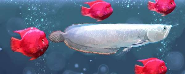 银龙鱼一年可以长多少厘米,怎么养长得快