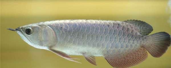 银龙鱼水温低于多少会死,适合的水温是多少