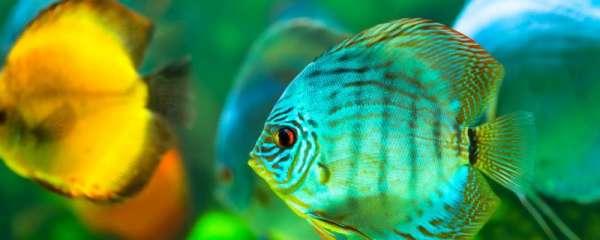七彩神仙鱼多大开始发色,怎么养发色快