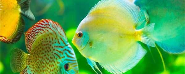 七彩神仙鱼能和鹦鹉鱼一起混养吗,能和什么鱼混养