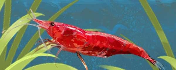 樱花虾为什么容易死?怎么养不容易死