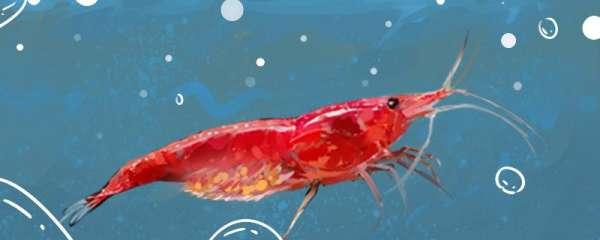 樱花虾能活多久,能长多大