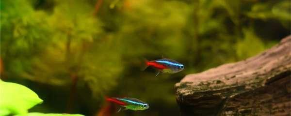 红绿灯鱼怎么看怀孕,繁殖需要注意什么