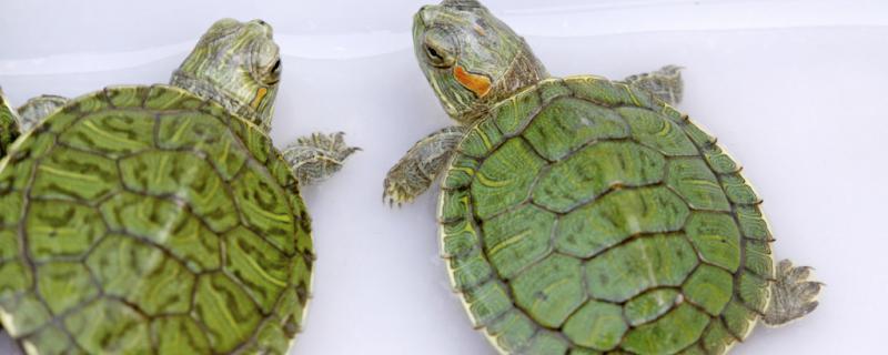 巴西龟不吃东西能活多久,会饿死吗