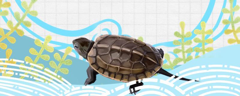 草龟身上长绿藻了是什么原因,怎么办