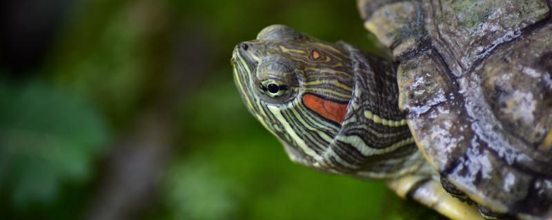 巴西龟能晒太阳吗,怎么选择养殖位置