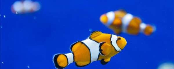 小丑鱼水温30度算不算高,水温多少度合适