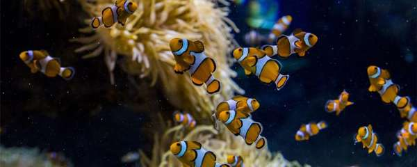 小丑鱼喂什么,多久喂一次