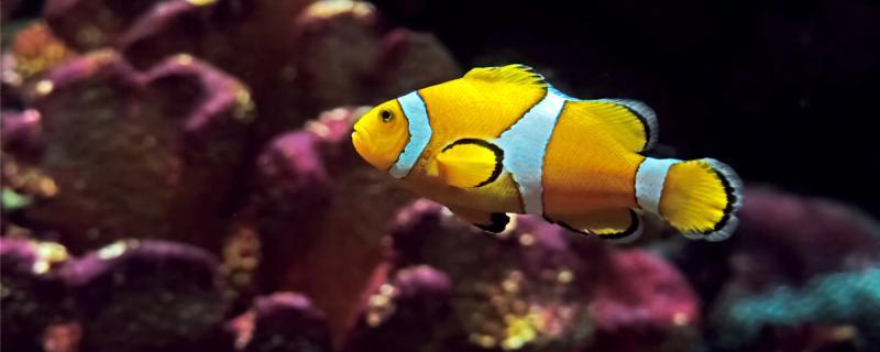 小丑鱼为什么还不配对,怎么繁殖