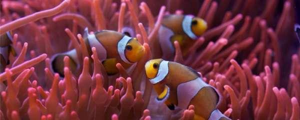 小丑鱼吃丰年虾吗,还吃什么