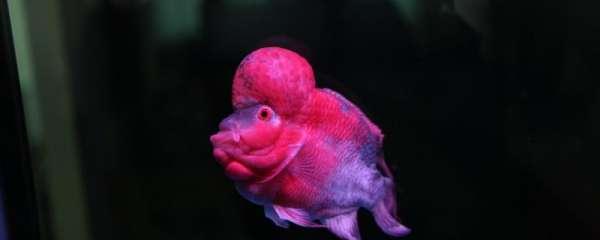 罗汉鱼从幼苗到长头需要多久,怎么养起头快