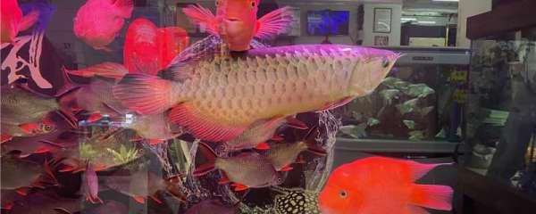 龙鱼入缸多久可以喂食,不开口怎么办