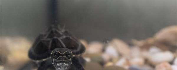 麝香龟会换壳吗,会繁殖吗