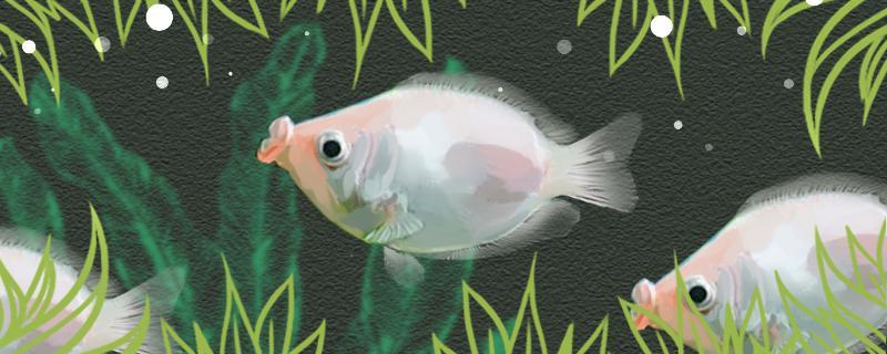 接吻鱼可以和斑马鱼混养吗,可以和鹦鹉鱼一起混养吗