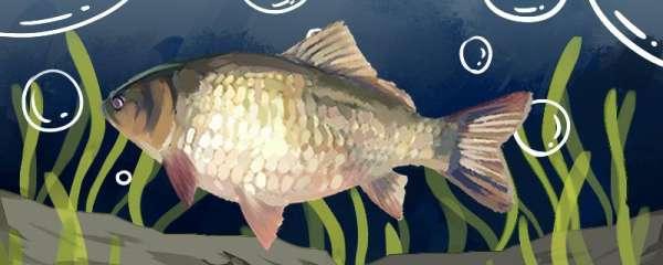 鲫鱼最喜欢吃什么饵料,最喜欢的温度是多少