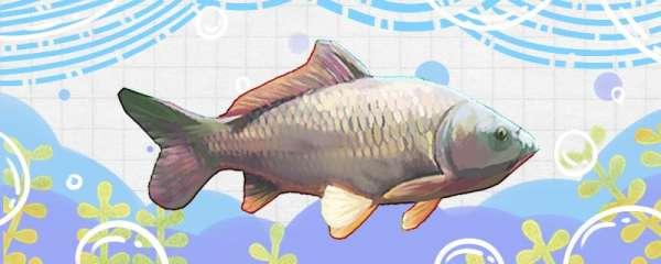 玉米钓鲤鱼效果怎么样,钓底还是钓浮