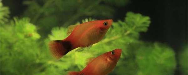 米奇鱼多大可以和大鱼一起养,小鱼怎么养