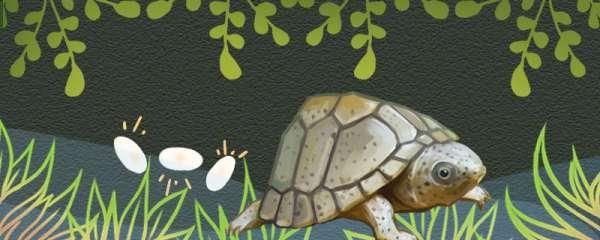 剃刀龟一年能下多少蛋,多大才能下蛋
