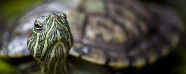 巴西龟身体肿胀是怎么回事,怎么办