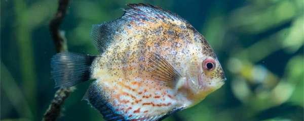 七彩神仙鱼吃什么最好,什么时间喂食