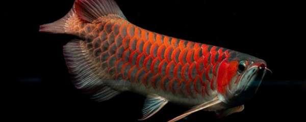 龙鱼缸水位多高合适,龙鱼对水有什么要求