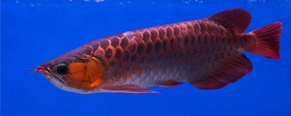 红龙鱼可以和什么鱼一起养,混养要注意什么