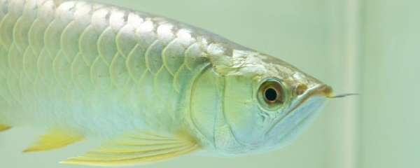 新缸养龙鱼多久后再换水,怎么开缸养龙鱼