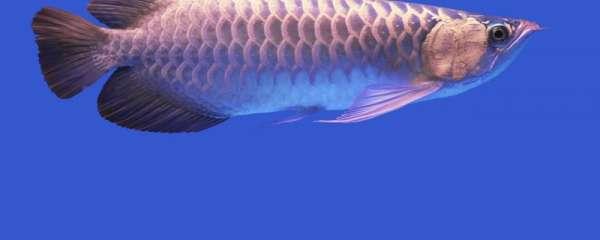 龙鱼有寄生虫怎么办,需要定期杀虫驱虫吗