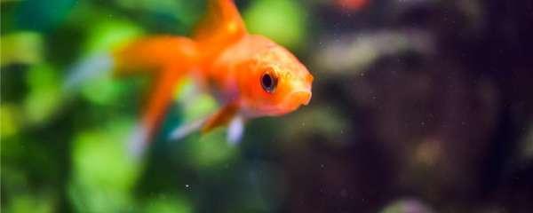 金鱼几天喂一次食最好,喂什么食物最好