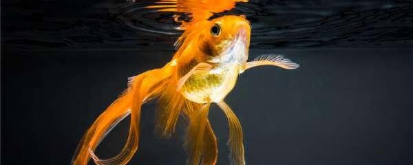金鱼受伤是因为什么,受伤了怎么处理