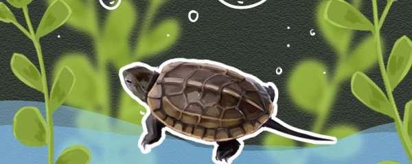 草龟喂食的正确方法,几天喂一次