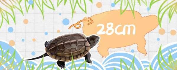 草龟能长多大多重,能活多久
