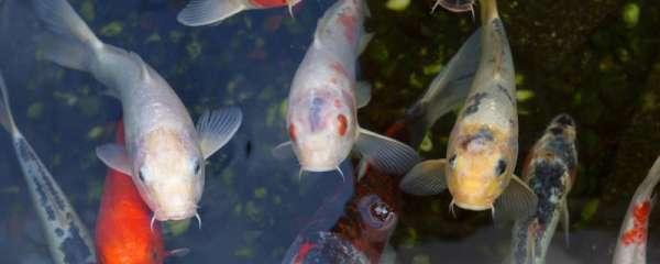 锦鲤鱼池一般多深,需要什么水才行