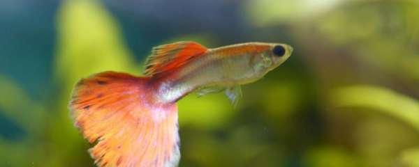 孔雀鱼是怎样受精的,受精后几天生产