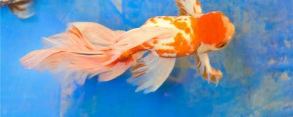 金鱼锦鲤混养好处,还能和什么鱼混养