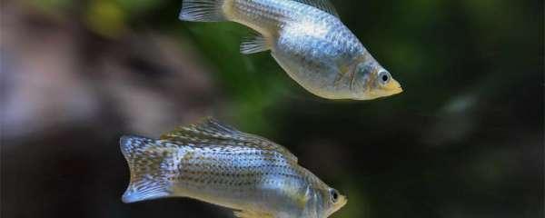 玛丽鱼和孔雀鱼哪个好养活,能混养吗