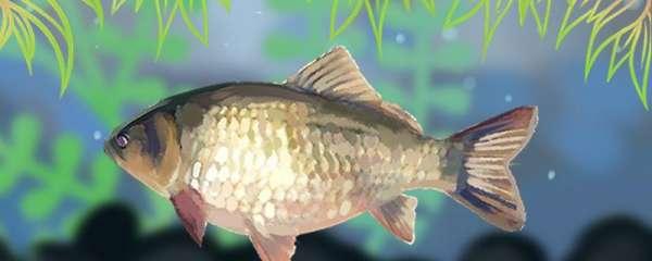 夏天鲫鱼喜欢腥的还是香的,在深水还是浅水