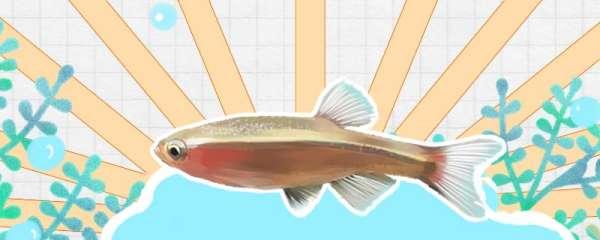 白云金丝鱼怎么喂养,饲养难度高吗