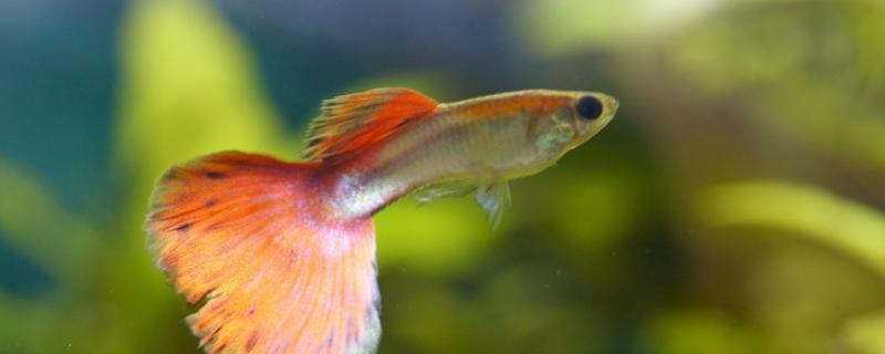 孔雀鱼大便很粗是不是要生了,生产前有什么预兆