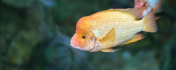 白鹦鹉鱼怎么分辨公母,能一起养吗