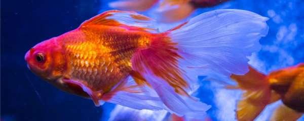 金鱼产卵是一次性产完吗,产卵前的征兆