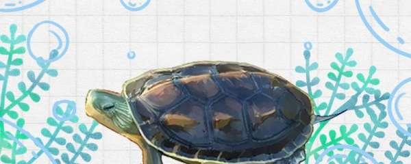 中华花龟可以深水养吗,用什么水养