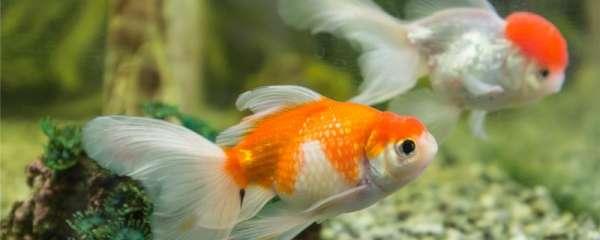 如何分辨金鱼是否怀孕,金鱼怎么繁殖