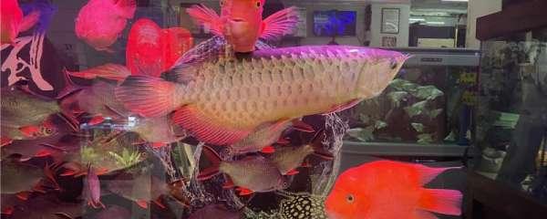 龙鱼与什么鱼混养最好,混养的注意事项