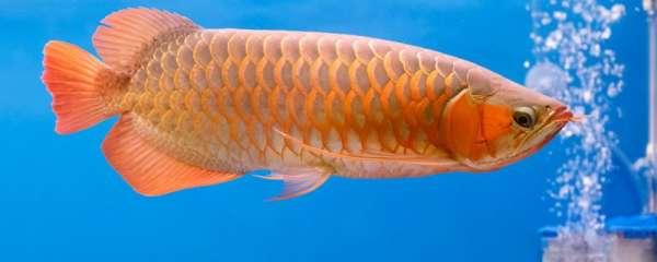 龙鱼吃什么最好增色,怎么养长得快