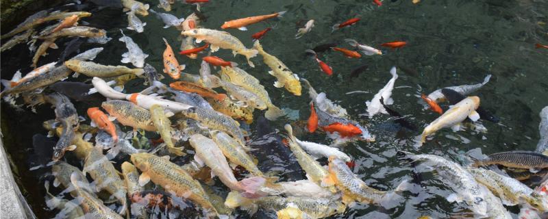鱼吃蜈蚣会不会中毒,投喂前怎么处理