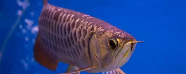 成年龙鱼多少天喂一次,怎么喂