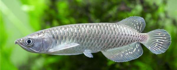 60方水可以养龙鱼吗,怎么养