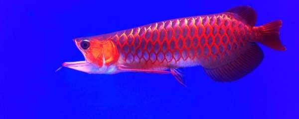 活蜈蚣能直接喂红龙鱼吗,喂什么发色快